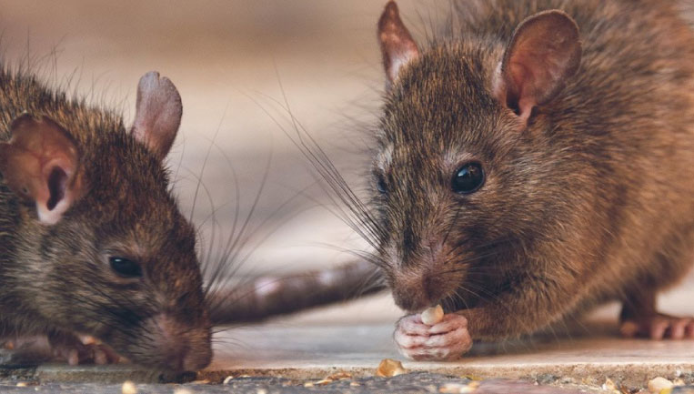 rodent-solutions-services
